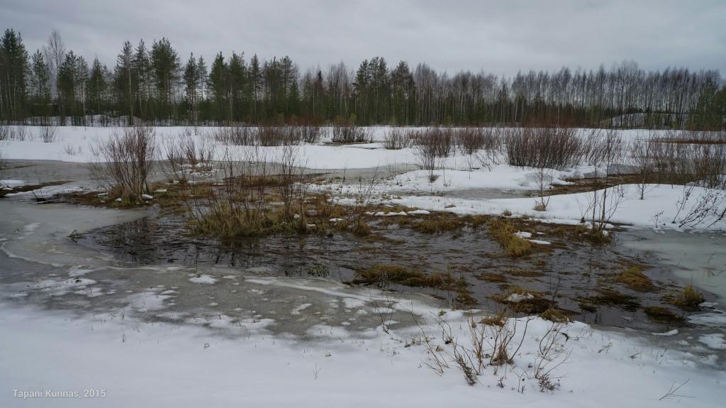 Märällä suolla, jonka pinta ei ole talvella jäätynyt, kevät on jo pitkällä.