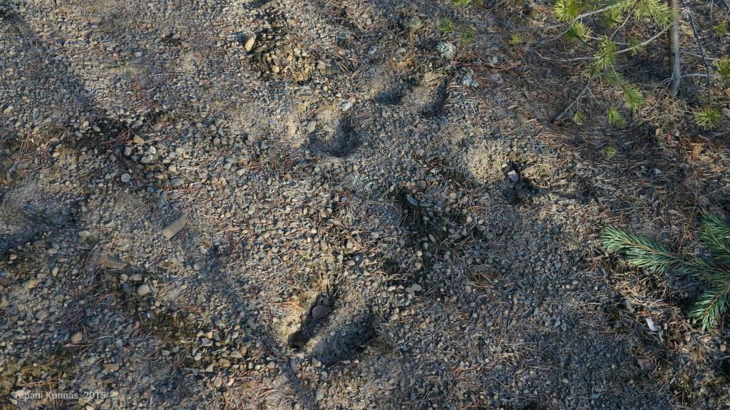 Tuoreita hirvenjälkiä parinkymmenen metrin päässä E75-tiestä. Hirviaidat ovat tarpeen.