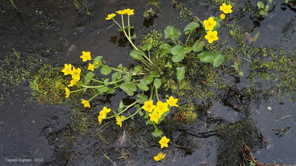 Alavilla paikoilla virtaavissa puroissa kasvaa rentukoita, ja nyt on niidenkin kukkiminen kauneimmillaan.