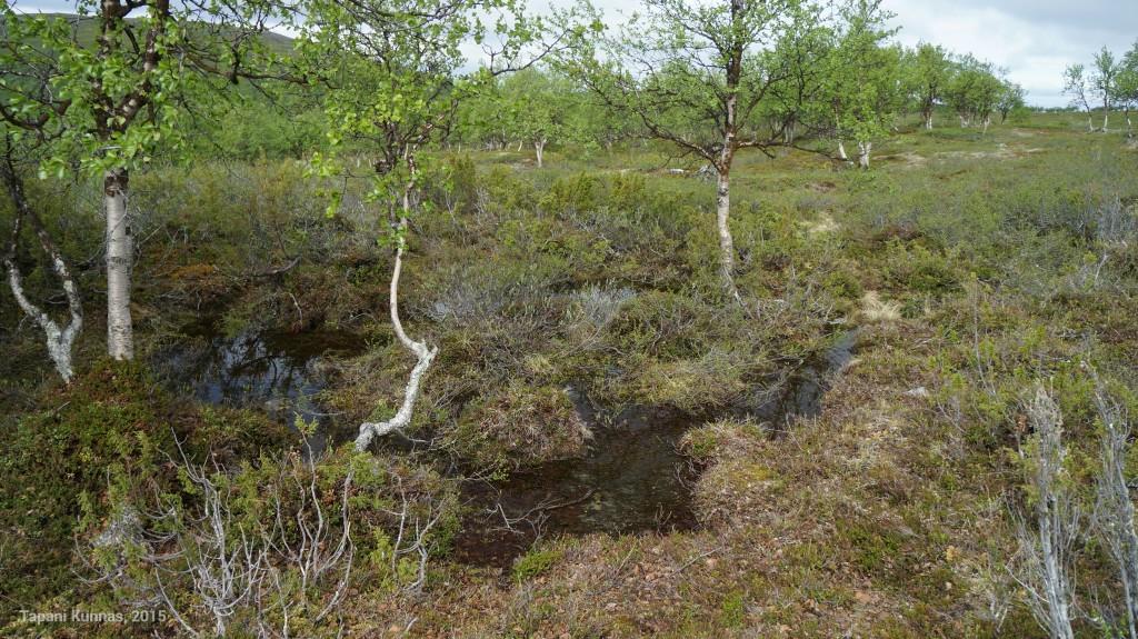 Alkukesän runsaiden sateiden vuoksi maasto on täälläkin hyvin märkää.