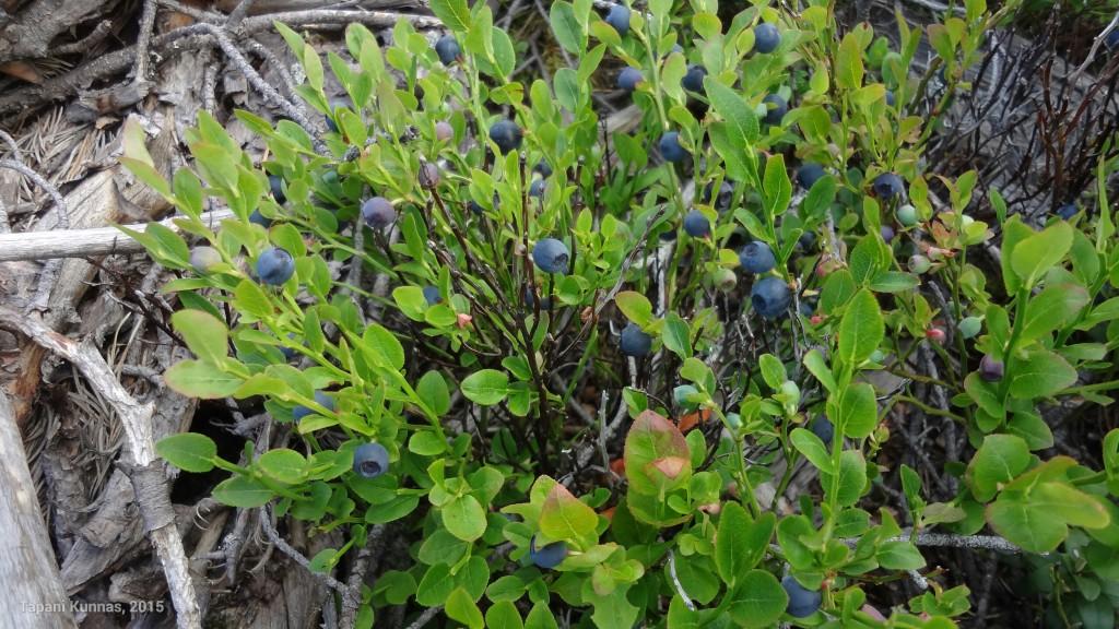 Hakkuualueen pohjoisreunalla, aurinkoisessa paikassa, mustikoita on paljon ja ne ovat jo kypsiä.