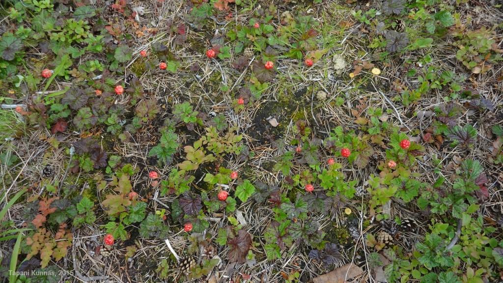 Hillanraakileita Sunijärven taukotuvan pihassa.
