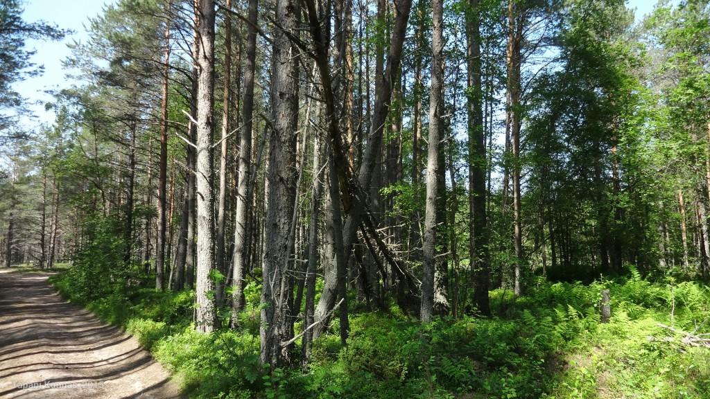 Pikkuisen konkeloon jääneitä puita.