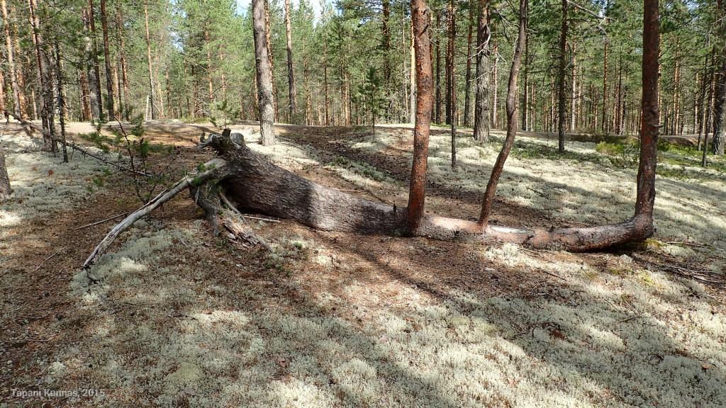 Erikoinen puu. Ei ole antanut kaatumisen haitata kasvamista.