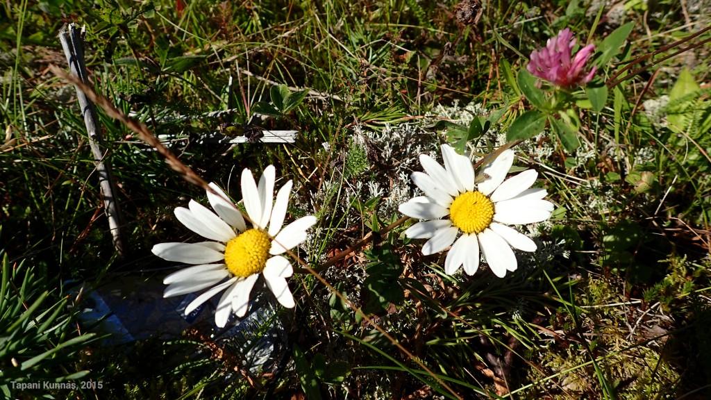 Vielä jaksaa päivänkakkara kukkia, vaikka on jo elokuun puoliväli.