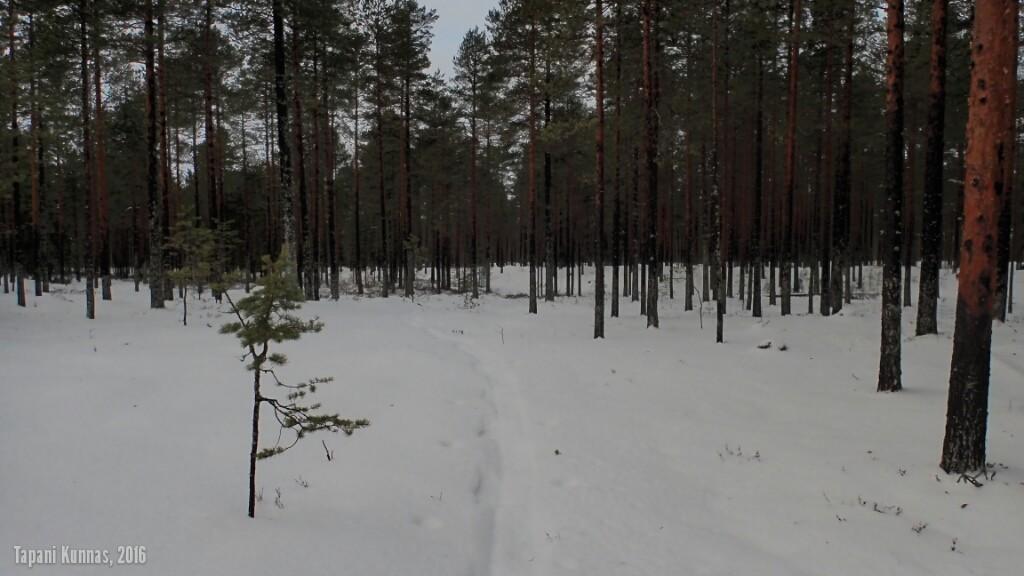Yön aikana satanut märkä lumi on hieman ehtinyt pehmentää illalla jättämiäni jälkiä.