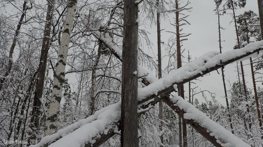 Tästä voi jo päätellä, missä järjestyksessä puut ovat tähän kaatuneet.