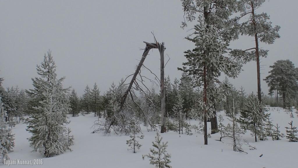 Puu on mennyt tuplakatki.