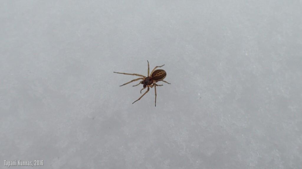 Hämähäkki hangella.