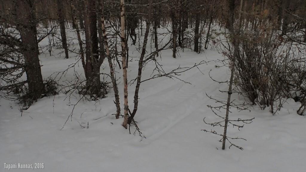 Kelkkakuski on huomannut viime hetkellä, että siinähän kasvaa puita.