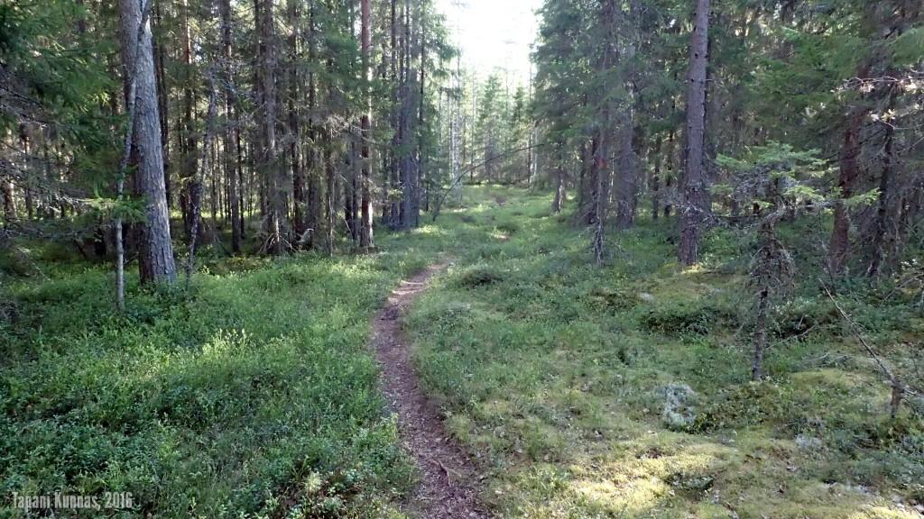 Polkua Pilpasuon ja Pilpajärven välisessä metsässä.