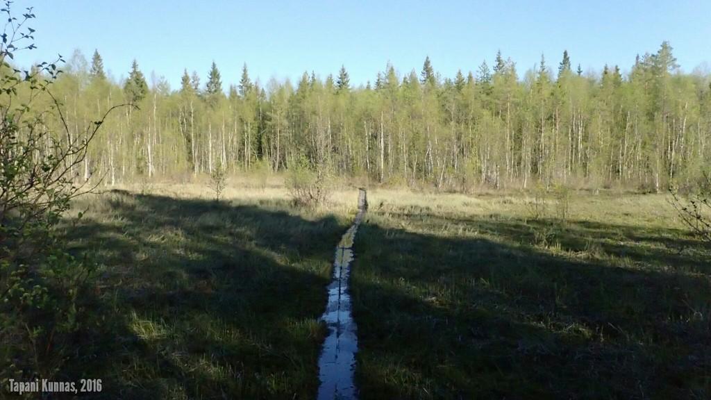 Näin keväällä suot ovat vielä hyvin märkiä ja paikoin pitkokset uppoavat kulkijan painosta veden alle.