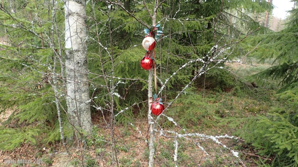 Metsästä löytyi joulupuu.