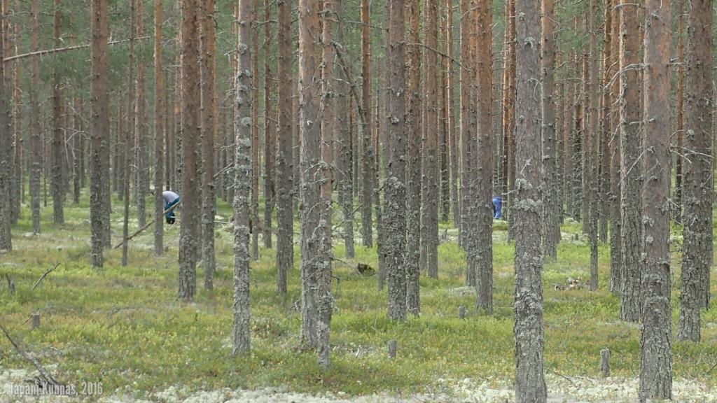 Jäkälänkerääjiä puiden takana.
