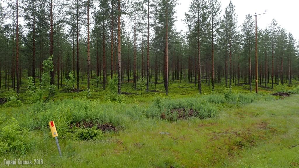 Siistittyä metsää. Tummat laikut ovat risukasoja. Odottanevat siellä poisvientiä. Tällaisessa metsässä olisi kiva liikkua.
