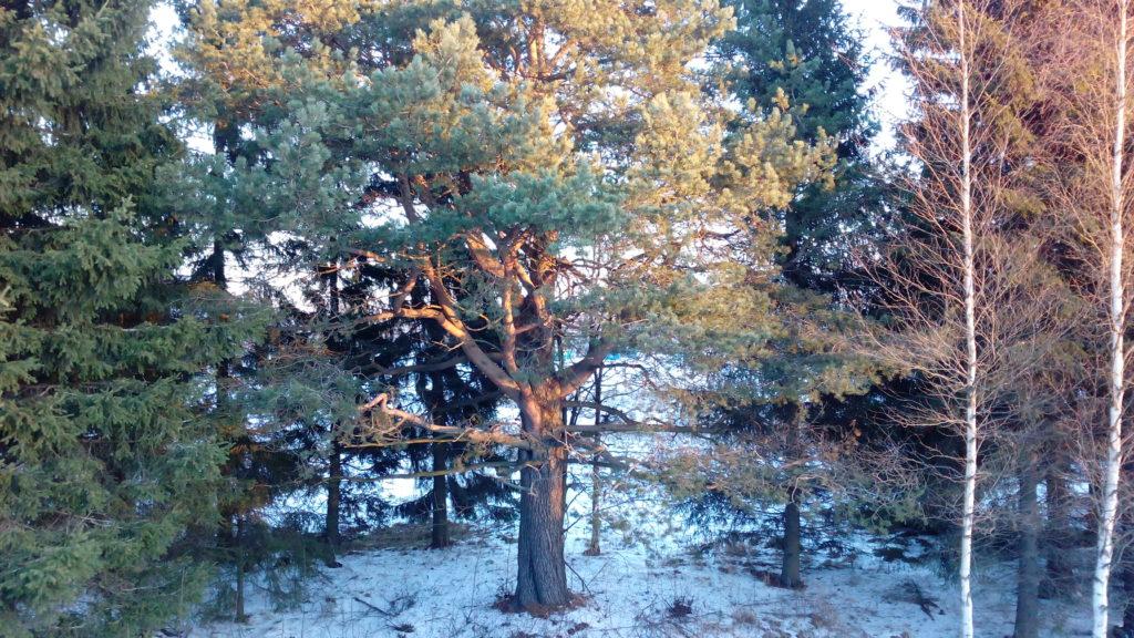 Olen ohittanut tämän puun lukemattomia kertoja - enimmäkseen autolla - mutta nyt huomasin sen ensimmäistä kertaa. Kävellessä näkee asioita.